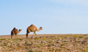 Camels traverse the widlerness outside of Jerusalem.
