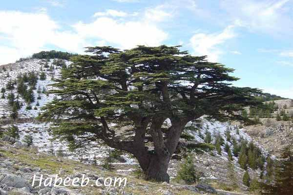 Cedars from the Chafour region of Lebanon.