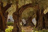 The Garden of Gethsemane in Jerusalem
