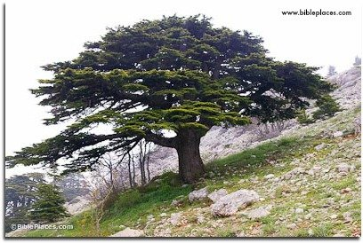 A cedar tree amongst the cedars of Lebanon.