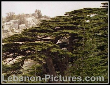 Cedars from the Mouhafaza region of Lebanon.